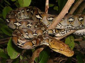 Unde locuiește pythonul