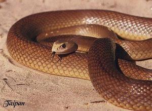 Cel mai otrăvitor șarpe din lume este Taipan