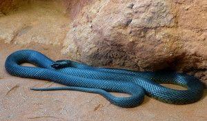 Cel mai otrăvitor șarpe este Taipan