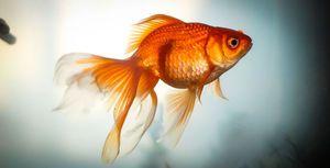 Goldfish: specii, reproducere, conținut